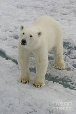 Polar Bear Crossing Ice Floe Art Print