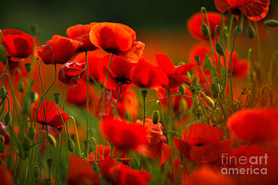 Poppy Dream Art Print by Nailia Schwarz
