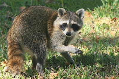 Photograph - Raccoon by Ira Runyan