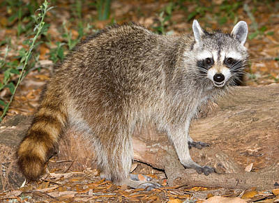 Photograph - Raccoon Procyon Lotor Adult Foraging by Millard H. Sharp