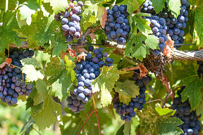 Wine Photograph - Red Grapes On The Vine by Brandon Bourdages