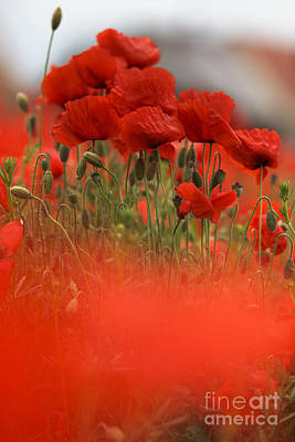 Royalty-Free and Rights-Managed Images - Red Poppy Flowers by Nailia Schwarz
