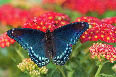 Darrell Gulin Photograph - Red Spotted Purple Butterfly, Limenitis by Darrell Gulin