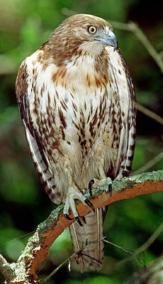 Photograph - Red-tailed Hawk by Millard H. Sharp