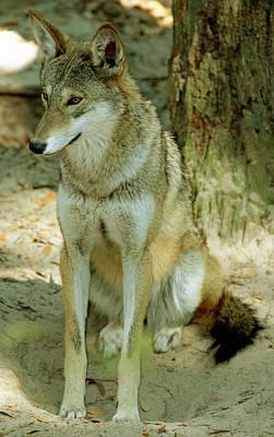 Photograph - Red Wolf by Millard H. Sharp