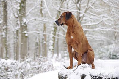 Dog In Snow Photograph - Rhodesian Ridgeback Dog by John Daniels