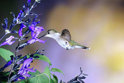 Ruby-throated Hummingbird Photograph - Ruby-throated Hummingbird (archilochus by Richard and Susan Day