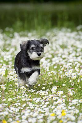 Schnauzer Puppy Dog Art Print by John Daniels