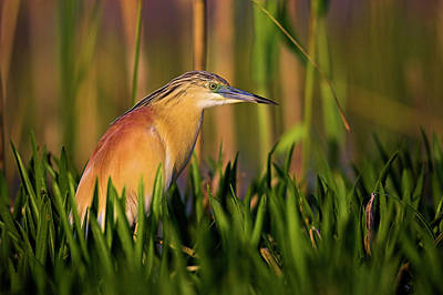 Eastern Europe Photograph - Squacco Heron (ardeola Ralloides by Martin Zwick