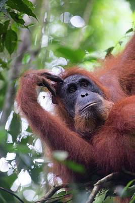 Orangutans Photograph - Sumatran Orangutan by Scubazoo