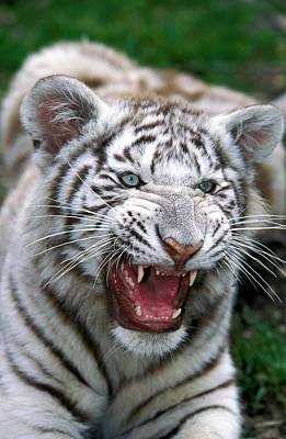 Tigre Blanc Panthera Tigris Art Print by Gerard Lacz