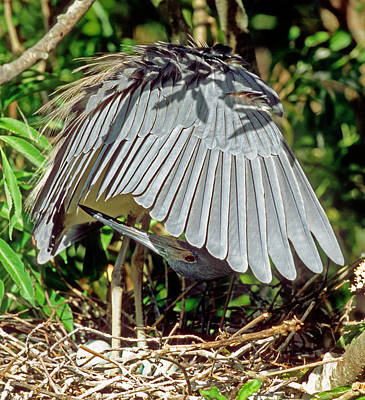 Photograph - Tricolored Heron Egretta Tricolor by Millard H. Sharp