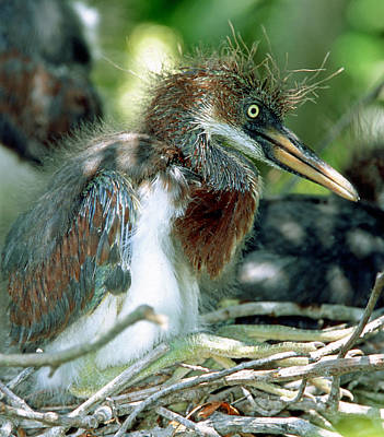 Photograph - Tricolored Heron Nestlings by Millard H. Sharp