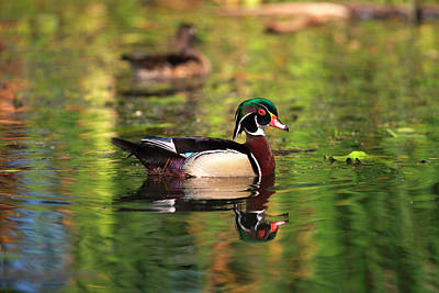 Wood Duck Photograph - Usa, California, San Diego, Lakeside by Jaynes Gallery