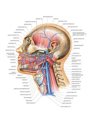 Venous System Of The Head And Neck Art Print by Asklepios Medical Atlas
