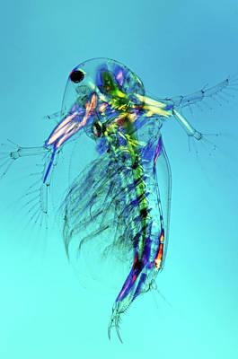 Water Flea Art Print