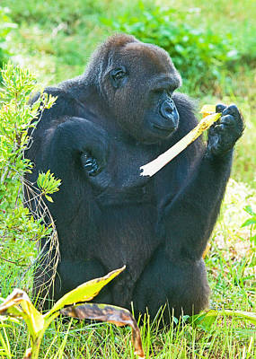 Photograph - Western Lowland Gorilla, Female by Millard H. Sharp
