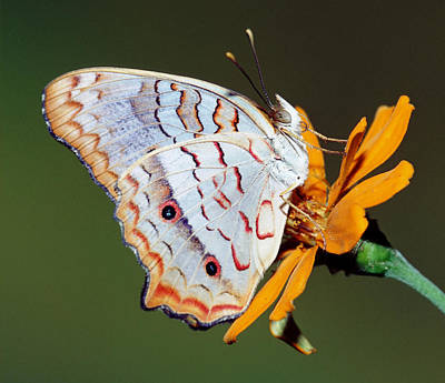 Photograph - White Peacock Butterfly by Millard H Sharp