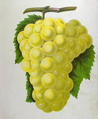 Grape Vine Drawing - Wine Grapes, Vine, Agriculture, Fruit, Food And Drink by English School