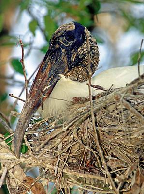 Photograph - Wood Stork by Millard H. Sharp