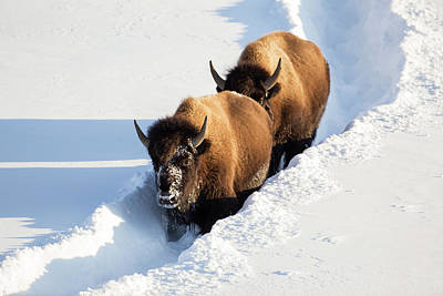 Bison Photograph - Wyoming, Yellowstone National Park by Elizabeth Boehm