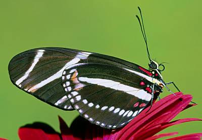 Photograph - Zebra Butterfly Heliconius Charitonius by Millard H. Sharp