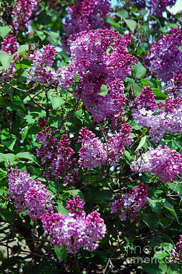 Photograph - 902a Purple Lilac by NightVisions