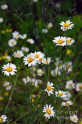 Photograph - 906a Daisies by NightVisions