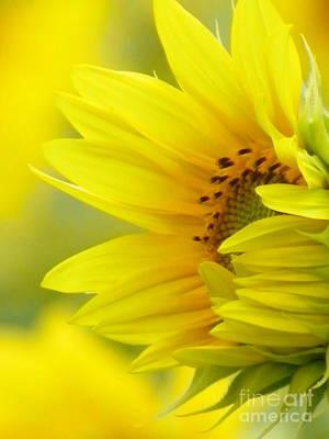 #923 D727 Awakening Sunflower On Colby Farm Newbury Massachusetts     New Beginnings Original