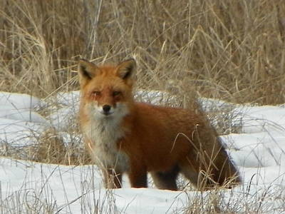 #926 D762 Salisbury Beach State Reservation Fox On The Hunt Original by Robin Lee Mccarthy Photography