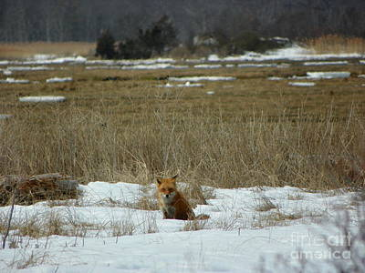 Vintage Uk Posters - #926 D765 Salisbury State Reservation Fox by Robin Lee Mccarthy Photography