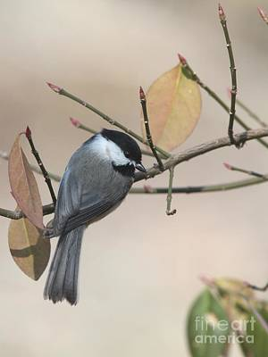 Photograph - Black-capped Chickadee by Jack R Brock