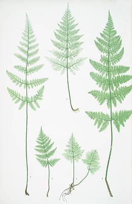 Prickly Drawing - A-b. Lastrea Dilatata Coliina   C-d. L. Dilatata Nana by Litz Collection