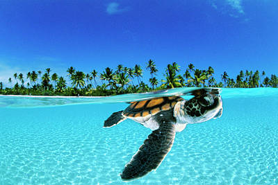Water Wall Art - Photograph - A Baby Green Sea Turtle Swimming by David Doubilet
