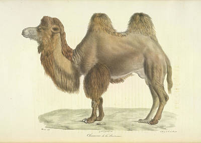 Camel Photograph - A Bactrian Camel by British Library