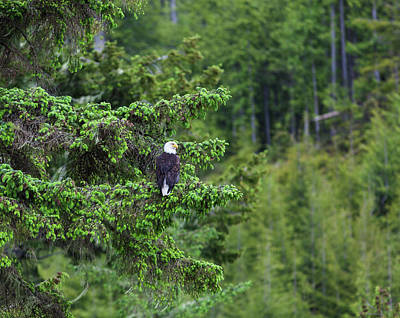 Bird Photograph - A Bald Headed Eagle Perches On A Fir by Debra Brash / Design Pics
