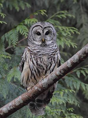 Photograph - A Barred Owl by Daniel Behm