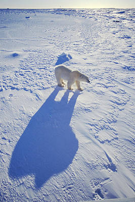Photograph - A Bear And His Shadow by Randy Green