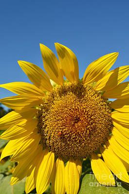 Just Desserts - A beautiful day in the Sunflower Neighborhood by Eva Kaufman
