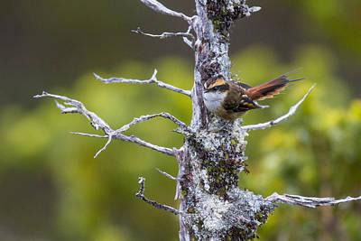 Thorn Tail Photograph - A Beautiful Little Bird by Tim Grams