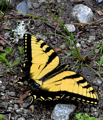 A Beautiful Swallowtail Butterfly Print by Eva Thomas