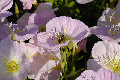 Photograph - A Bee And Evening Primrose by Charles Beeler