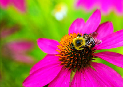 Fuchsia Photograph - A Bee And Reverie by Jon Woodhams