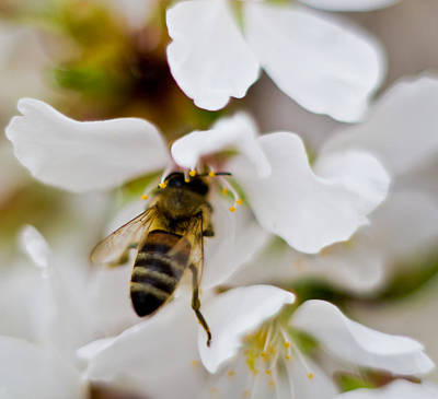 Parkersburg Wv Photograph - A Bee In A Flower by Jonny D