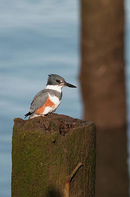 Belted Kingfisher Wall Art - Photograph - A Belted Kingfisher  Megaceryle Alcyon by Robert L. Potts
