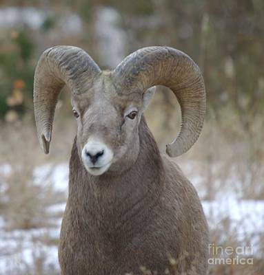 Big Horn Sheep Photograph - A Big Big Horn  Ram  by Jeff Swan