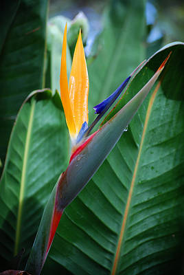Photograph - A Bird Of Paradise II by Michelle Wrighton