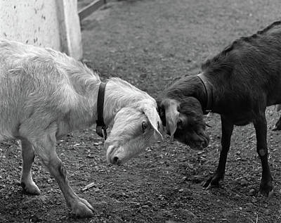Goat Photograph - A Black & A White Goat Butting Heads by Vintage Images