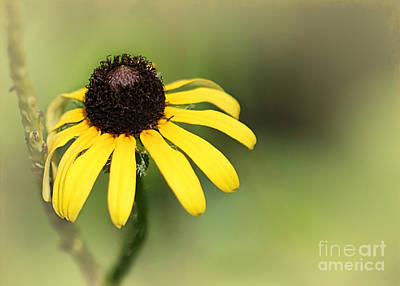 Photograph - A Black Eyed Susan by Sabrina L Ryan