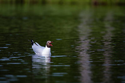 Photograph - A Black-headed Gull, Larus Ridibundus by Sergio Pitamitz